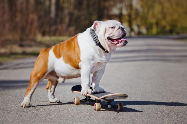 english bulldog standing on a skateboard